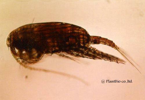 z012clausocalanus arcuicornis.jpg