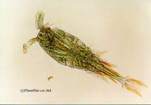 z023oithona brevicornis♂.jpg