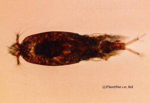 z036corycaeus affinis♀.jpg